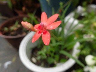 JAFAREC flower Freesia laxa