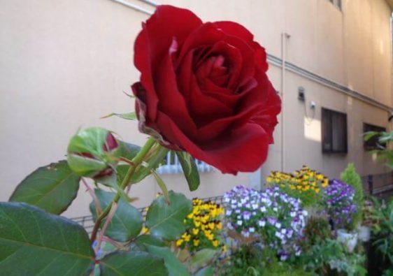 JAFAREC Rose