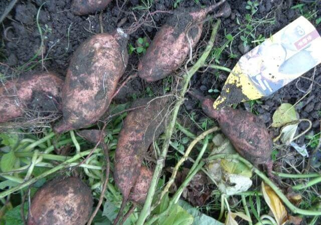 JAFAREC Ten-Sho-An Vegetable Garden Odion potatoes