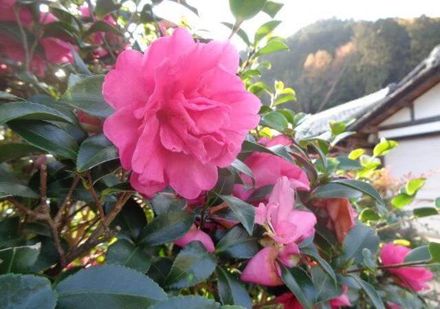 JAFAREC Ten-Sho-An flower garden