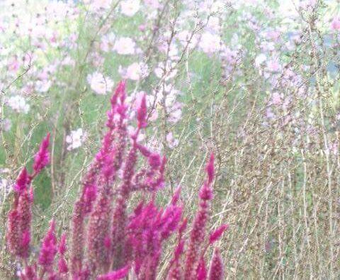 JAFAREC Ten-Sho-An flowers