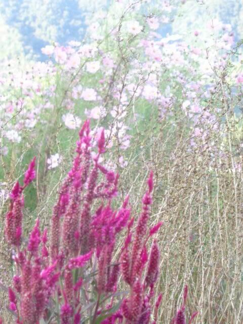 Ten-Sho-An flowers