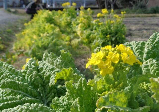 JAFAREC Ten-Sho-An Vegetable Garden blossoms