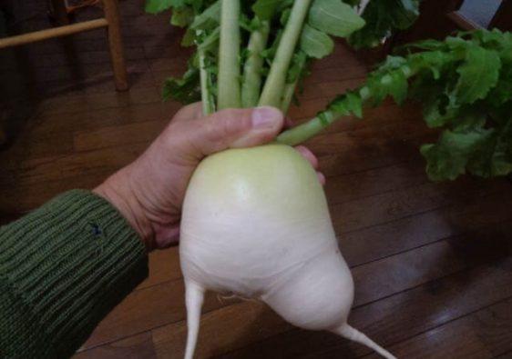 JAFAREC Ten-Sho-An radish no bottom