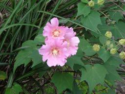 JAFAREC cotton rose
