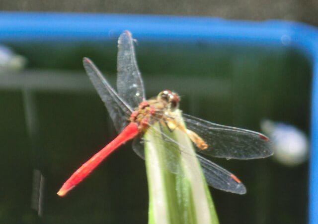 JAFAREC dragonfly