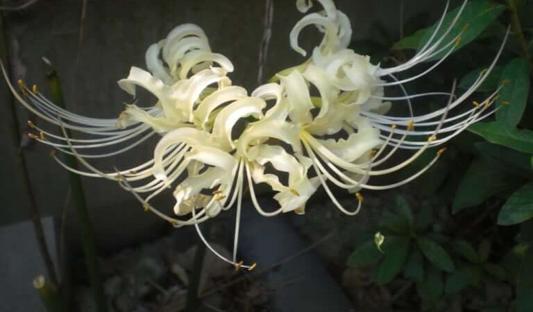 JAFAREC white spider lilies