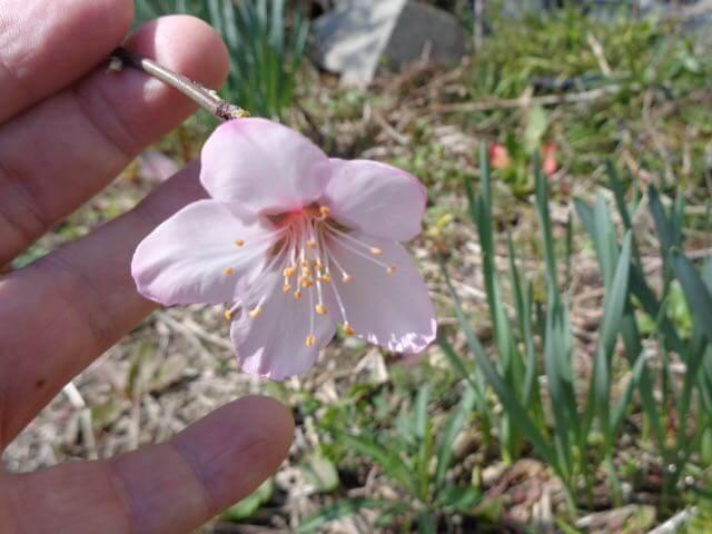 Almond flower bloomed JAFAREC Ten-Sho-An