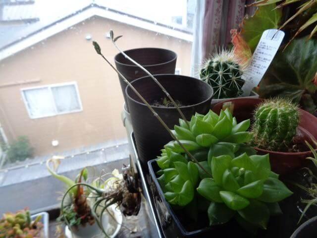 JAFAREC Cactus