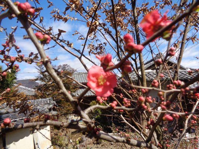 JAFAREC Ten-Sho-An flowers plum
