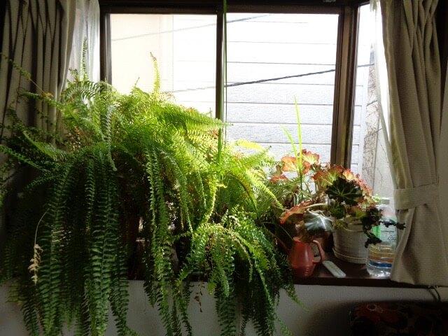 JAFAREC plants sansevieria