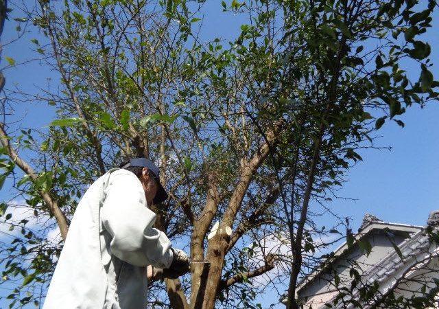 Yuzu pruning JAFAREC Ten-Sho-An