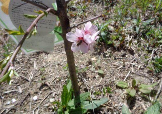 A bee on an almond flower