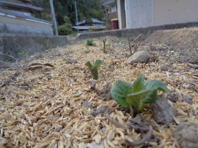Kita Akari potatoes had sprouted