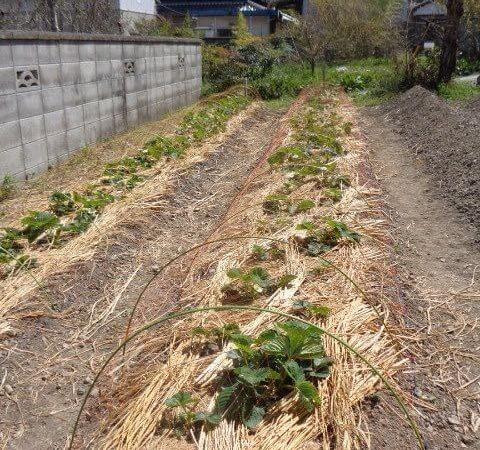 Straw mulch and bird netting