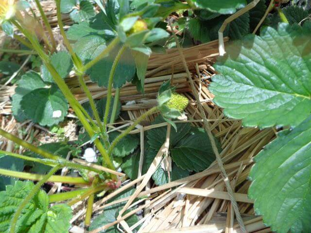 Strawberries are starting to bear fruits