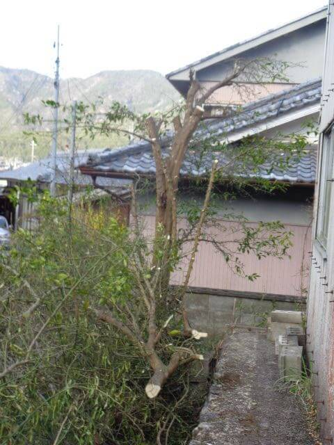 pruning of the yuzu trees
