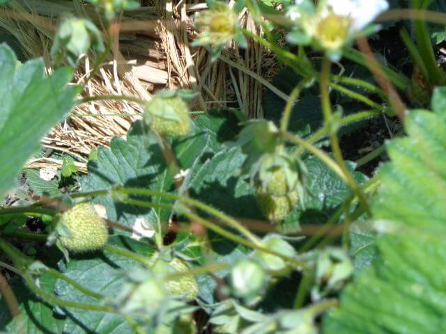 strawberries are starting to fatten up at Ten-Sho-An