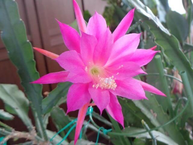 A late flowering epiphyllum cactus