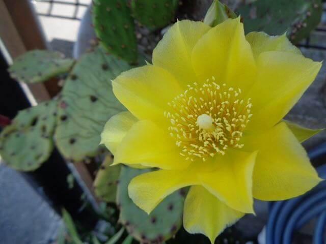 flowering cactus in a pot